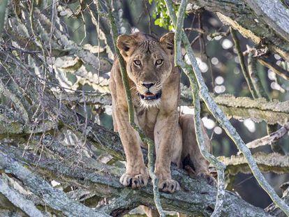 Una de las leones del parque nacional de la Reina Elizabeth.
