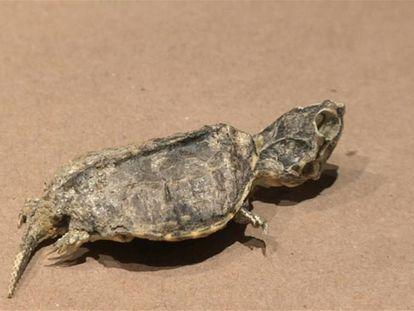 El fósil de una tortuga 'yelmochelis rosarioae' de hace 65 millones de años.