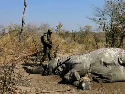 En vídeo, imágenes de elefantes muertos en el delta del río Okavango, en Botsuana.