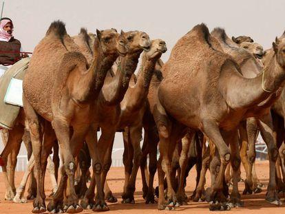 Un hombre guía el pasado viernes a un grupo de camellos que participaron en el King Abdulaziz Camel Festival, en Riad.