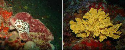 Dos de las 8.000 especies de esponja conocidas, la<i> Petrosia ficiformis</i><b> (izquierda) y la </b>Axinella damicornis.