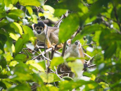 La Reserva Mamirauá tiene una gran densidad de especies de animales, como el mono oloroso.