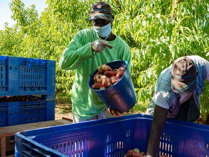 Trabajadores en una explotación agrícola de Torres del Segre, recogiendo paraguayos, el pasado mes de julio.