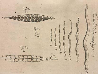 Etapas de crecimiento de la anguila. Lámina XIV del tratado Observaciones de vida de los animales, que se encuentran en animales vivos, de Francesco Redi (1684, Florencia).