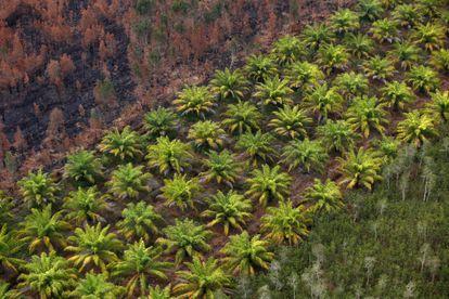 Plantación de palma para producir aceite junto a una zona de bosque quemada, en Indonesia.