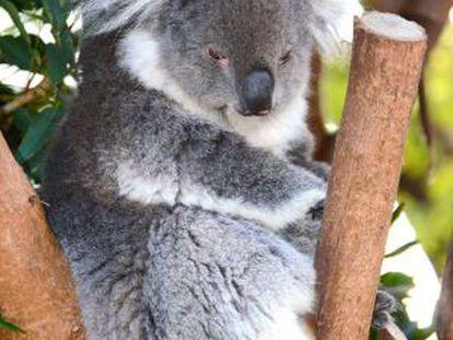 Un koala en un zoo de Sídney, Australia.