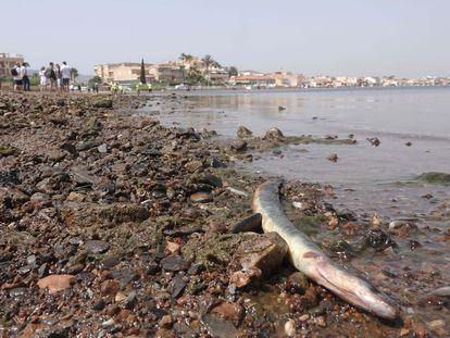 Una anguila muerta en una playa del Mar Menor (Murcia).