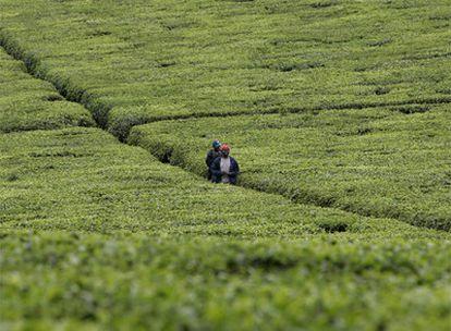Dos trabajadores atraviesan una plantación situada a 50 kilómetros de Nairobi (Kenia).