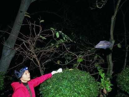 La viróloga Shi Zhengli libera un murciélago de una cueva china tras sacarle sangre, en 2004.