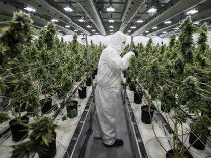 La compañía canadiense Cronos Group acaba de convertirse en el primer productor puro de marihuana que cotiza en Nueva York