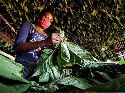 Una mujer trabaja en una plantación de tabaco en Viñales, al oeste de Cuba.