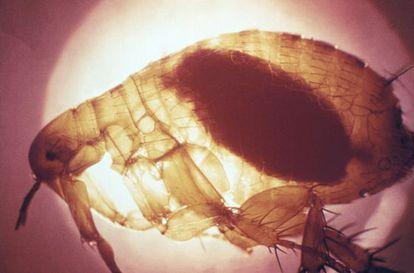 Una pulga que acaba de ingerir sangre infectada con la bacteria de la peste.