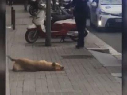 Testigos de los hechos aseguran que el animal no estaba mordiendo al agente de la Guardia Urbana