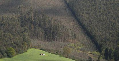 Repoblación de eucaliptos en los montes de Cedofeita (Lugo).
