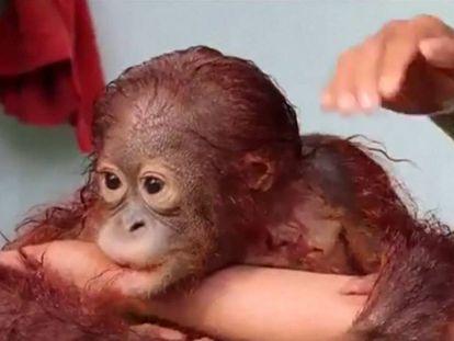Baño de un bebé orangután en un refugio de Indonesia.
