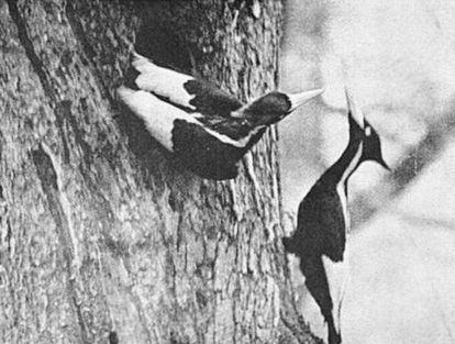 Un par de pájaros carpinteros de marfil fotografiados en 1935 en el bosque de Singer Tract.