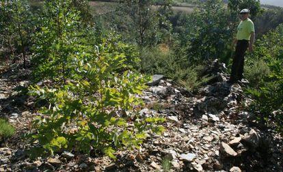 Parapeto defensivo del Coto dos Castros, en el límite entre Mondoñedo y Lourenzá, destruido por máquinas y replantado de eucalipto.