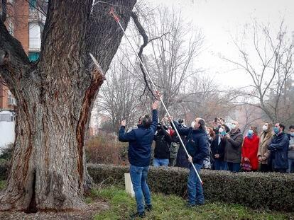 El olmo centenario del parque de Antonio Machado en Coslada, Madrid.