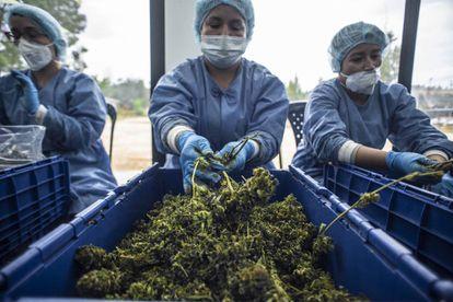 La flor del cannabis concentra sus ingredientes activos, los cannabinoides.