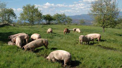 Imagen promocional de ejemplares de cerdos de la raza 'selecta' de Coren.