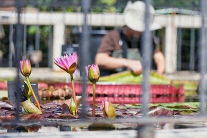 Nenúfares en el estanque oval del Jardín Botánico.