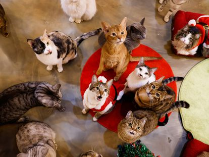 Un grupo de gatos en una cafetería que acoge a estos felinos en Seúl, esta semana.
