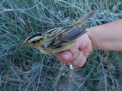 En la imagen, el carricerín cejudo, uno de los pájaros más pequeño y amenazado de Europa.