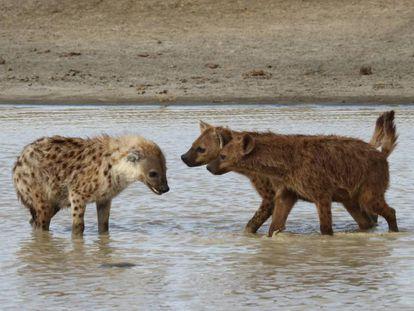 Dos hienas se aproximan a un tercer ejemplar, en actitud amenazante.