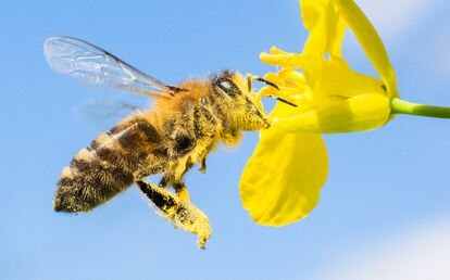 Una abeja cubierta de polen liba en una flor.