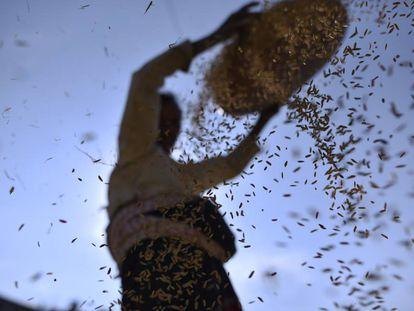 Una mujer separa granos de arroz de otros cereales y glumas.