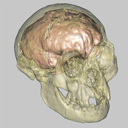 Reproducción virtual del cráneo de la especie hallada en la isla de Flores (Indonesia), que data de hace 18.000 años.