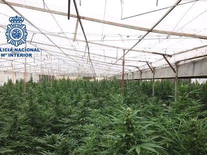 Imagen de la plantación de marihuana desmantelada en Cajiz, en la provincia de Málaga.