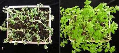 Las plantas de tomate infectadas con bacterias se marchitan (izquierda) mientras que las que cuentan con PPR resisten su ataque (derecha).