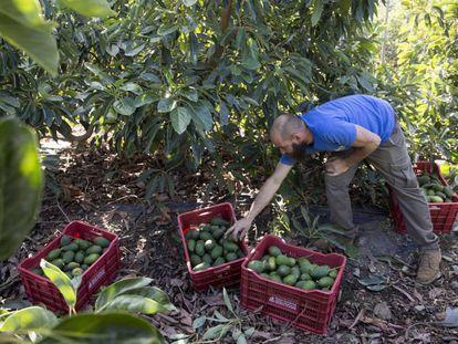 Un trabajador recogiendo aguacates de los árboles y cargando cajas, en la empresa Reyes Gutiérrez, en Vélez-Málaga.