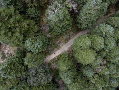 El pinsapo alcanza extensiones de más de 8.100 hectáreas entre las sierras de Cádiz y Málaga con la incertidumbre sobre la incidencia del cambio climático