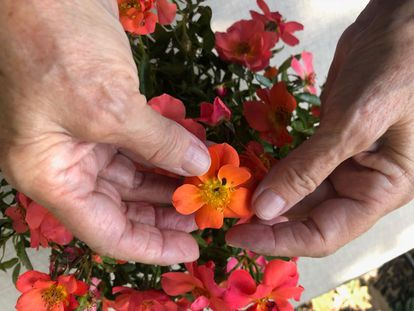 La rosa Setsuko Thurlow creada por Matilde Ferrer.