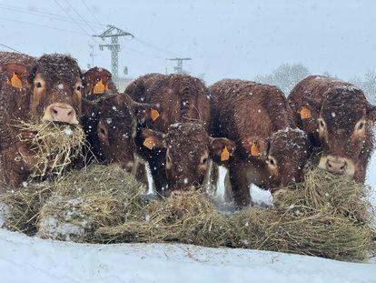 Unas vacas en Colmenar Viejo comiendo la paja que se pudo llevar hasta donde estaban