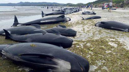 Las ballenas muertas en la playa de Farewell Spit, este viernes.