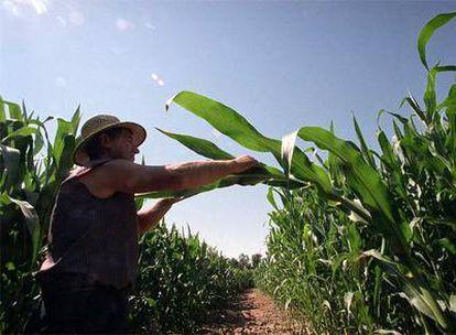 Campo de ensayo de maíz modificado genéticamente perteneciente al Instituto Nacional de Investigación Agraria en Aranjuez.