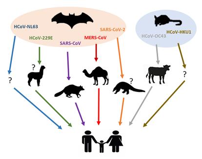 El árbol muestra los siete coronavirus humanos, sus hospedadores intermedios y sus reservorios naturales.