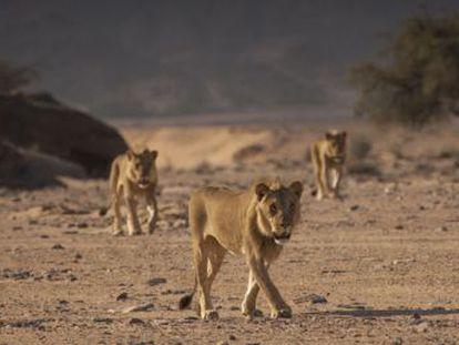 Los leones del desierto de Namibia, protagonistas de un famoso documental de National Geographic, han sido envenenados y quemados por atacar a un burro. Ya solo queda uno