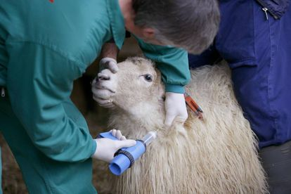 Un veterinario vacuna a una oveja.