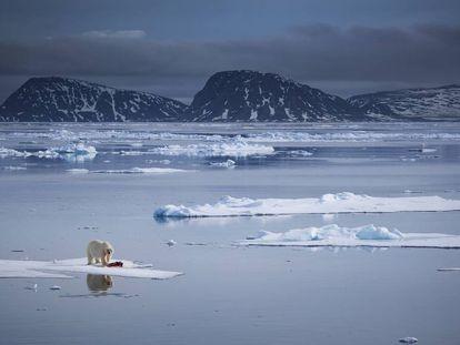 Un oso polar se pasea por una capa de hielo en las orillas del norte del Archipiélago de Svalbard (Noruega).
