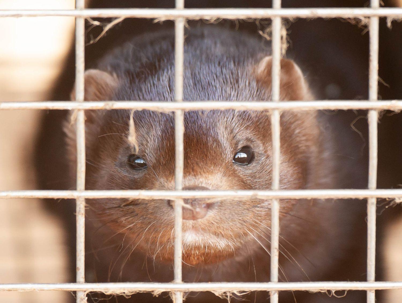 Uno de los visones de la granja holandesa donde se ha registrado un posible contagio de covid-19 entre animal y humano.