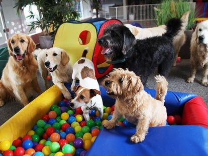 Un grupo de perros en la sala de juegos de un hotel canino de cinco estrellas en Saint Neots (Reino Unido).