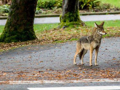Los incidentes con coyotes en el parque Stanley han sido reportados desde diciembre de 2020.