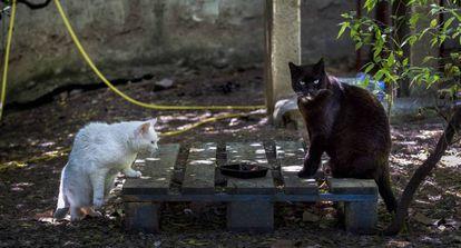 Dos gatos callejeros, en una colonia controlada en el barrio de Vallcarca (Barcelona).