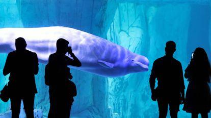 Varias personas contemplan una beluga en el Oceanogràfic de València, reabierto al público después del periodo de cierre por la pandemia por coronavirus.