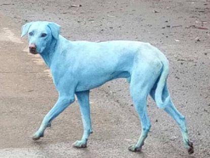 Imagen compartida por la protectora de animales de uno de los perros teñidos de azul.