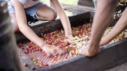 Producción de café en Nicaragua. Oxfam Intermón tiene proyectos de cooperación en el país desde hacía 40 años.